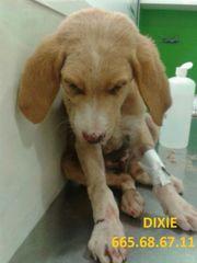 Foto de Dixie (Camel)